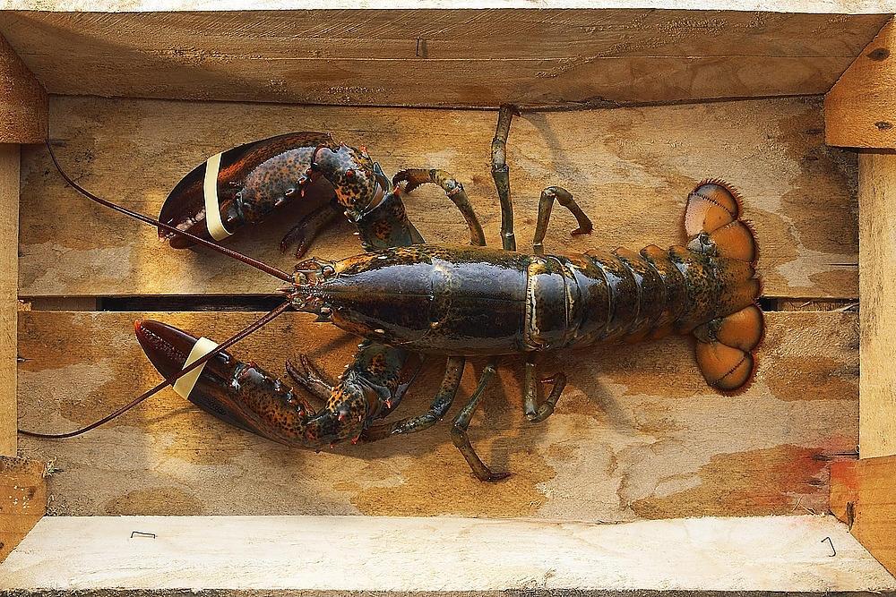 L'Astice: dove si pesca, come sceglierlo e come cucinarlo!