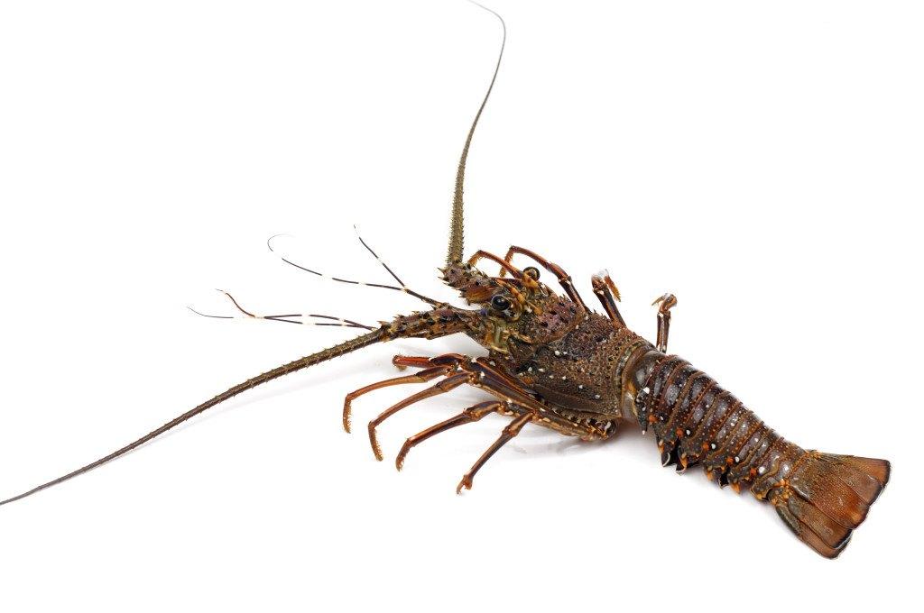 l astice è il maschio dell aragosta somiglianze